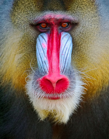 Endangered Species「mandrill」:スマホ壁紙(3)
