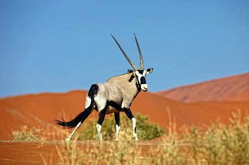 Gemsbok「Namibia, Gemsbok in typical desert habitat」:スマホ壁紙(0)