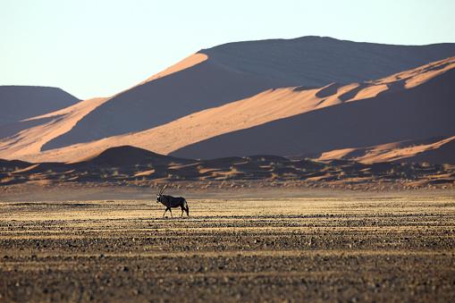 Gemsbok「Namibia, Gemsbok in typical desert habitat」:スマホ壁紙(9)