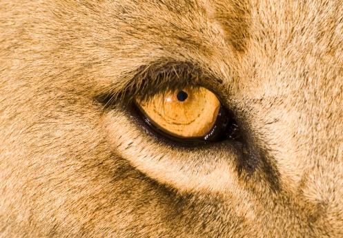 Animals Hunting「Eye of a Lioness - Close Up」:スマホ壁紙(2)