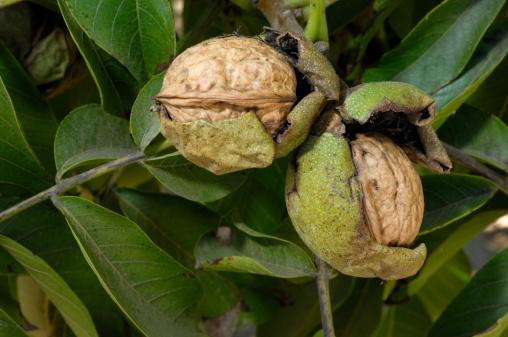 Walnut「Ripening Walnuts on Tree」:スマホ壁紙(3)