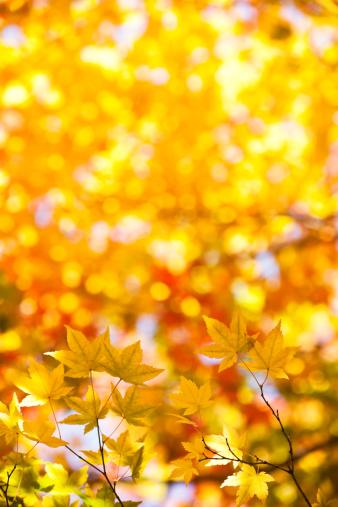 紅葉「黄秋の紅葉」:スマホ壁紙(12)