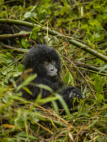 Smirking「Infant mountain gorilla is smirking at the camera.」:スマホ壁紙(12)