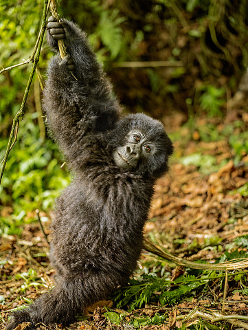 Animal Arm「Infant mountain gorilla is swinging and looking to the camera」:スマホ壁紙(6)