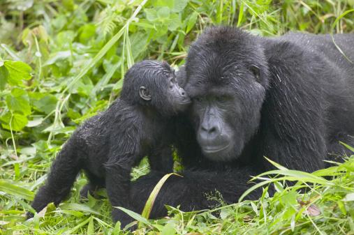 Gorilla「Infant Mountain Gorilla kissing Silverback male」:スマホ壁紙(13)