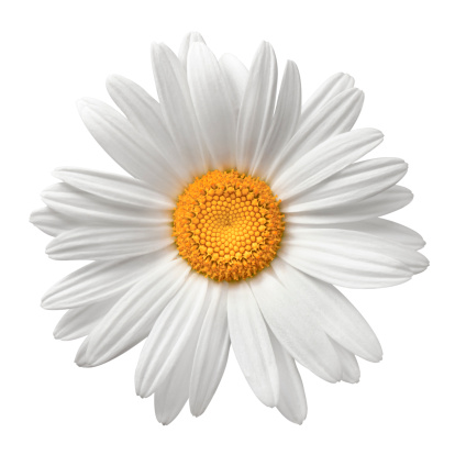 Flower Head「Daisy On White With Clipping Path」:スマホ壁紙(12)