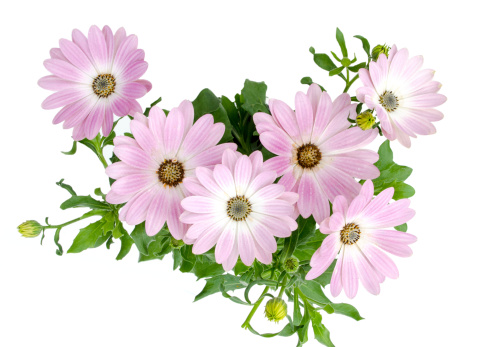 Clipping Path「Daisy on White」:スマホ壁紙(6)