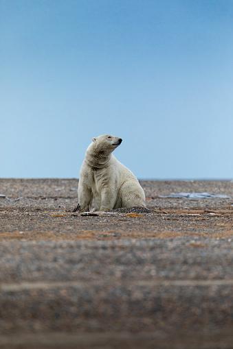 Kaktovik「Kaktovik, Alaska: Polar bears in Arctic National Wildlife Refuge.」:スマホ壁紙(13)