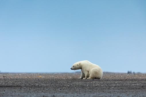 Kaktovik「Kaktovik, Alaska: Polar bears in Arctic National Wildlife Refuge.」:スマホ壁紙(12)