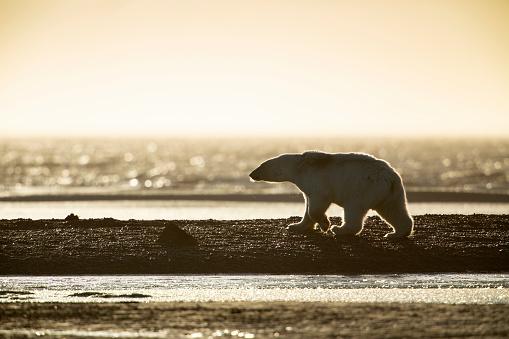 Kaktovik「Kaktovik, Alaska: Polar bears in Arctic National Wildlife Refuge.」:スマホ壁紙(11)