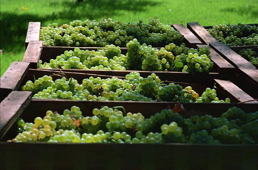 1980-1989「Wine grape harvest in Napa Valley」:スマホ壁紙(12)