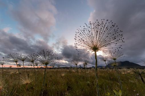Eco Tourism「Pepalantus plants at sunrise, Chapada dos Veadeiros, Goias, Brazil」:スマホ壁紙(13)