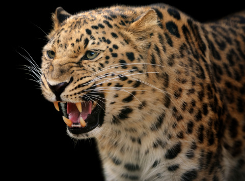 Animals Hunting「growling leopard」:スマホ壁紙(13)