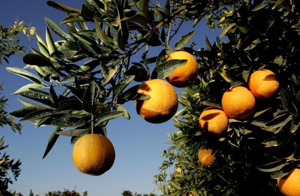 Orange - Fruit「Cold Snap Endangers California Citrus Crop」:写真・画像(9)[壁紙.com]