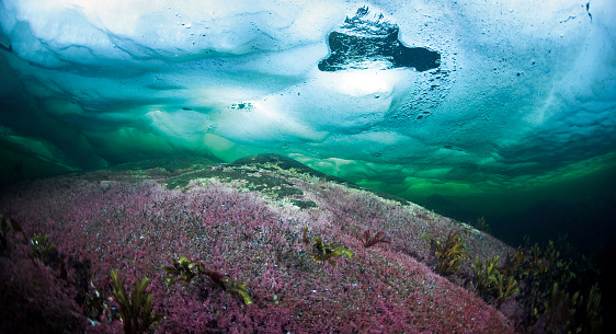 Arctic Ocean「Russia, Arctic Circle Dive Centre, polar circle, algae under water」:スマホ壁紙(18)