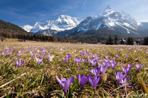 Crocus「spring crocus meadow in the alps, tirol - austria」:スマホ壁紙(1)