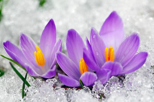 Crocus「Spring Crocus (Crocus albiflorus)」:スマホ壁紙(14)