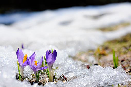 Uncultivated「Spring crocus flowers blooming on snow」:スマホ壁紙(16)