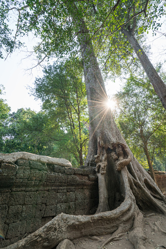 Ta Prohm Temple「View of ancient temple and trees, Angkor Wat, Cambodia」:スマホ壁紙(4)