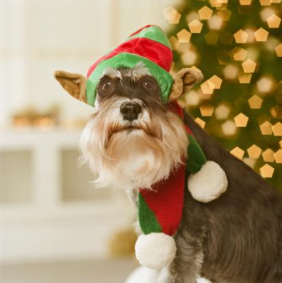 Schnauzer「Schnauzer dog wearing elf hat, close-up」:スマホ壁紙(12)