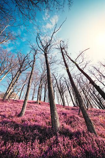 花畑「森の湧き水でヒース フィールド」:スマホ壁紙(17)