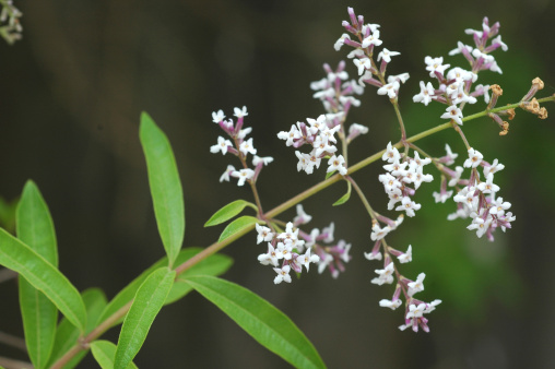 Lemon Verbena「lemon verbena, Aloysia triphylla, branch with leaves and flowers」:スマホ壁紙(4)