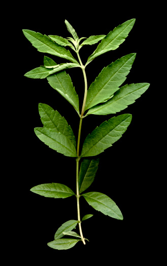 Lemon Verbena「Lemon Verbena (Aloysia triphylla) on black background」:スマホ壁紙(5)