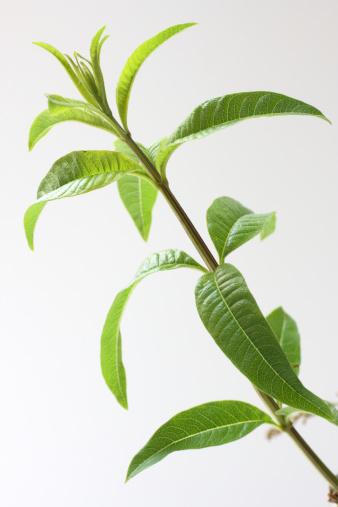 Vervain「lemon verbena」:スマホ壁紙(0)