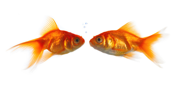 Carp「Goldfish kissing against white background」:スマホ壁紙(10)