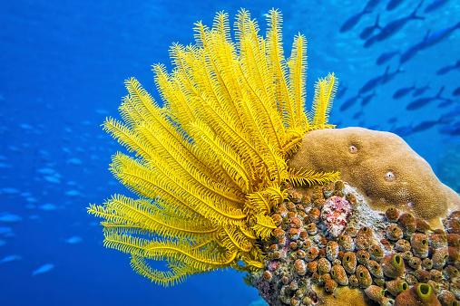 Ecosystem「Yellow Feather star ( Crinoid ) - Sea lily」:スマホ壁紙(10)