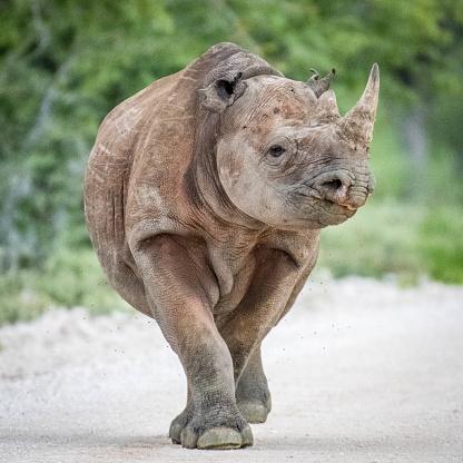 Rhinoceros「Rhino walking」:スマホ壁紙(19)