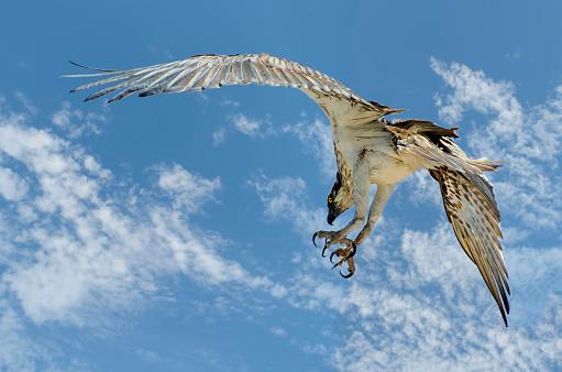 Spread Wings「Western Osprey bird (Pandion haliaetus), Australia」:スマホ壁紙(11)