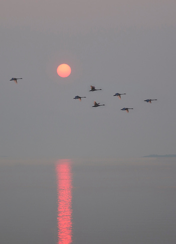 Beak「Trumpeter swans flying at sunrise over sea.」:スマホ壁紙(5)