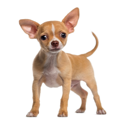 1 740 alert chihuahua puppy 3 months old voltagebd Images