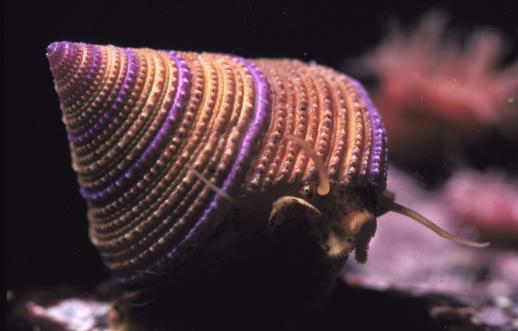 カタツムリ「ring topped snail」:スマホ壁紙(8)