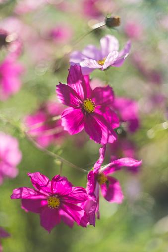 コスモス「Germany, Blossoms of Mexican aster, Cosmos bipinnatus」:スマホ壁紙(7)