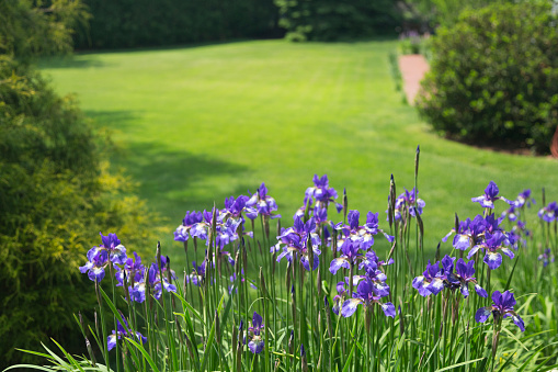 flower「Iris and Lawn」:スマホ壁紙(15)