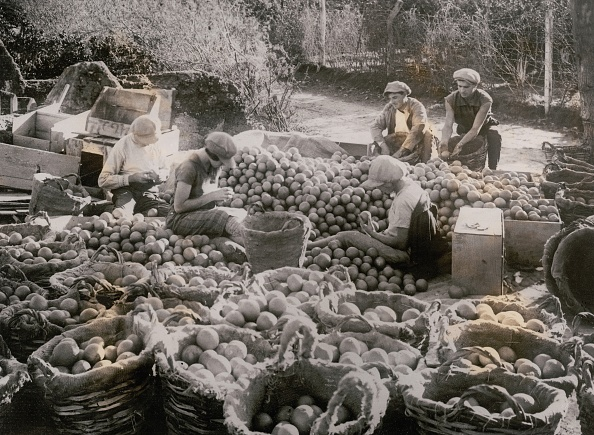 Cultures「Orange harvest in Palestine」:写真・画像(0)[壁紙.com]