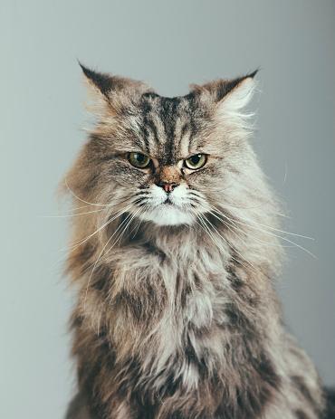 ペルシャネコ「怪しい猫のポートレート」:スマホ壁紙(0)