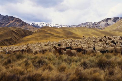 Amazon Rainforest「Llamas on the dry grass Altiplano」:スマホ壁紙(10)
