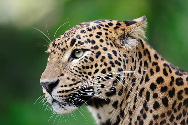 leopard:スマホ壁紙(壁紙.com)