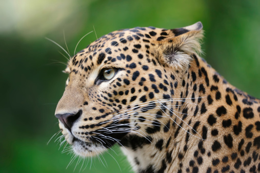 Panther「leopard」:スマホ壁紙(13)