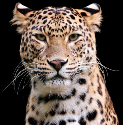 Panther「leopard」:スマホ壁紙(10)