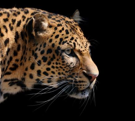 Panther「leopard」:スマホ壁紙(15)