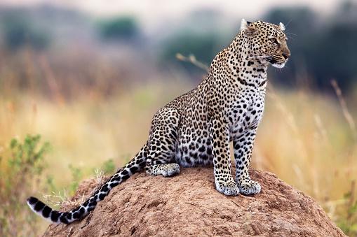 Big Cat「Leopard」:スマホ壁紙(2)