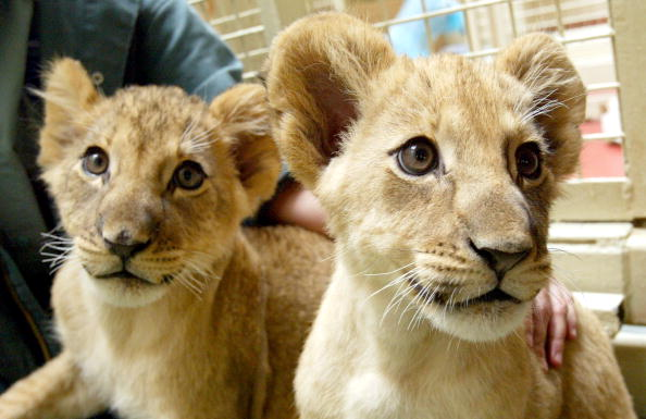 Animal Whisker「Eleven-Week-Old Lion Cubs At The San Francisco Zoo」:写真・画像(1)[壁紙.com]