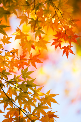 Japanese Maple「Autumnal Japanese Maple Leaves」:スマホ壁紙(19)