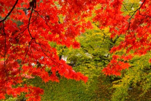 紅葉「Autumnal Japanese maple trees in Hirosaki Park. Hirosaki, Aomori Prefecture, Japan」:スマホ壁紙(13)
