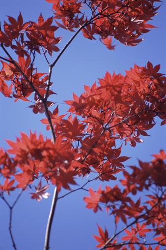 Japanese Maple「Autumnal Japanese maple tree」:スマホ壁紙(10)