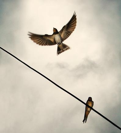 Barn Swallow「Swallow in flight with wings wide open」:スマホ壁紙(3)